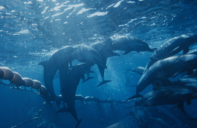 How thousands of dolphins die for your cheap tuna sarnie