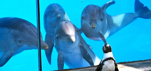 Dolphins fascinated by penguin - Dolphin Way - photo#43