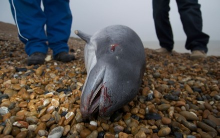 UK is breaking EU's conservation laws on porpoises