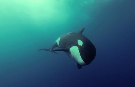 Underwater video of killer whales at play