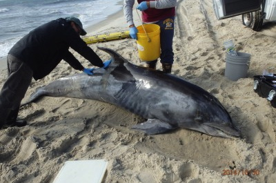 What causes dolphins and whales to strand along the coast?