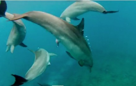 Can female dolphins chose which males impregnate them?