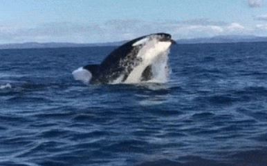 12-Year-Old Films Pod Of Killer Whales Attacking A Dolphin
