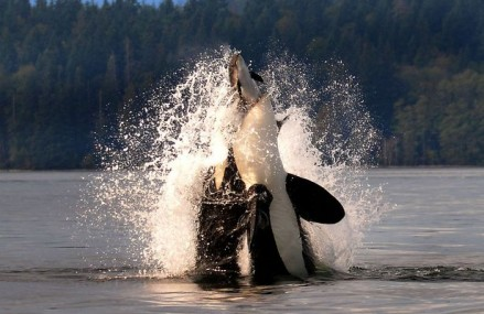 Amazing photos as orca catches hapless porpoise for dinner