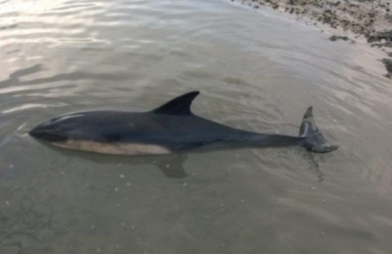 Dolphin in trouble in Chichester Harbour, UK