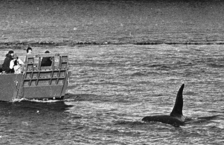 Dopey Dick, killer whale that swam into Derry in 1977, still alive and well