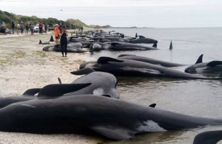 Race to save 100 stranded whales on New Zealand beach