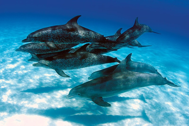 Two dolphin species band together to form unprecedented ... - photo#12