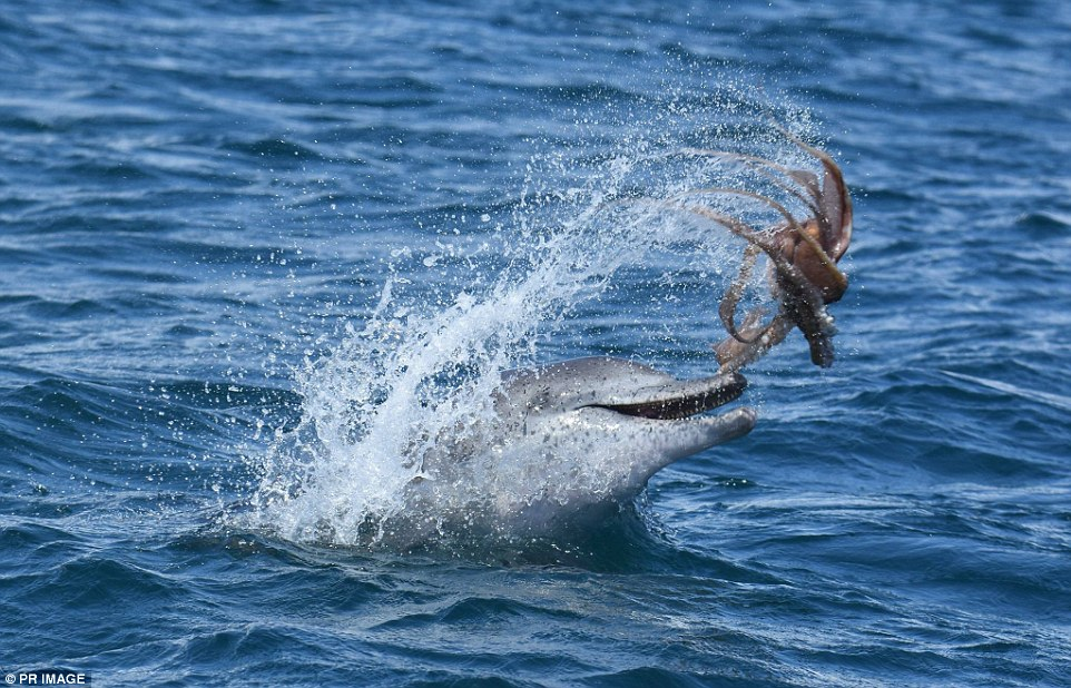 Dolphin plays with an octopus - Dolphin Way - photo#28